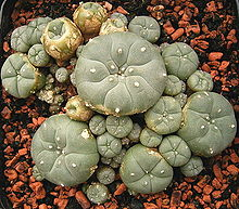 Le peyotl également dénommé peyote (Lophophora williamsii) est une espèce de petits cactus sans épines de la famille des Cactaceae, originaire du sud de l'Amérique du Nord.