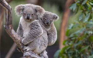 koala-camT15_0339_040