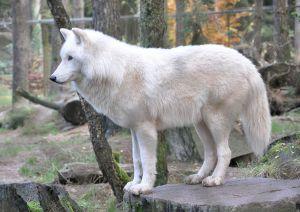 1024px-Canis_lupus_arctos_qtl1